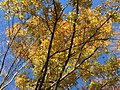 2017-11-24 14 07 30 View up into the canopy of a Sawtooth Oak during late autumn along a walking path in the Franklin Farm section of Oak Hill, Fairfax County, Virginia.jpg