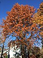 2017-11-24 14 10 10 A Pin Oak in late autumn along Thorngate Court in the Franklin Farm section of Oak Hill, Fairfax County, Virginia.jpg