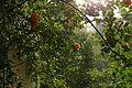 2017.05.13.062930 Kletterrose Regen Balkon Handschuhsheim Heidelberg.jpg