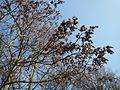 20170123Ailanthus altissima3.jpg