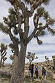 2017 Student Summit on Climate Change - Joshua tree Monitoring Project - Students count the branches of a Joshua tree (32650633764).jpg