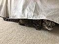 2020-05-06 16 49 07 A tabby cat hiding under a bed in the Franklin Farm section of Oak Hill, Fairfax County, Virginia.jpg