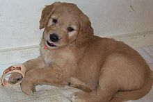 Goldendoodle Puppy At 6 Weeks Old The Coat Starts Out Quite Flat And Becomes More Curly As The Puppy Grows Older