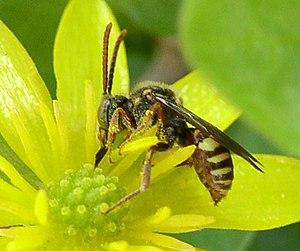 Apidae - Subfamily Nomadinae cuckoo bee species, on flower.