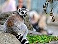 50 Jahre Knie's Kinderzoo Rapperswil - Lemur catta 2012-10-03 15-33-33.JPG