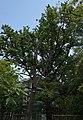 51-101-5023 Дуб білий, Одеса.jpg