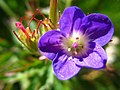 5706 - Schynige Platte - Flower.JPG