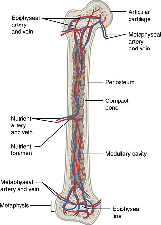 Nutrient artery - The blood supply to long bones, here with nutrient arteries labeled.