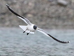 Sabine's gull - Sabine's gull flying at the fjord Trygghamna in Spitsbergen. Photographed by Shlomo Yona.
