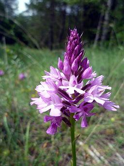ANACAMPTIS PYRAMIDALIS - LLANERA - IB-373 (Flor caputxina) per Isidre Blanc a Wikimedia Commons