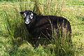A Herdwick lamb.jpg