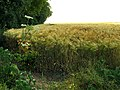 A barley corner on the Ridgeway at Ashbury Folly - geograph.org.uk - 25996.jpg