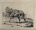 A bull standing in an enclosure trying to lick its hind leg. Wellcome V0020688.jpg