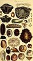 A conchological manual (1842) (20056429514).jpg