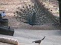 A dancing peacock.jpg