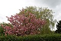 A flowering tree and weeping willow at Matching Tye, Essex, England 01.jpg