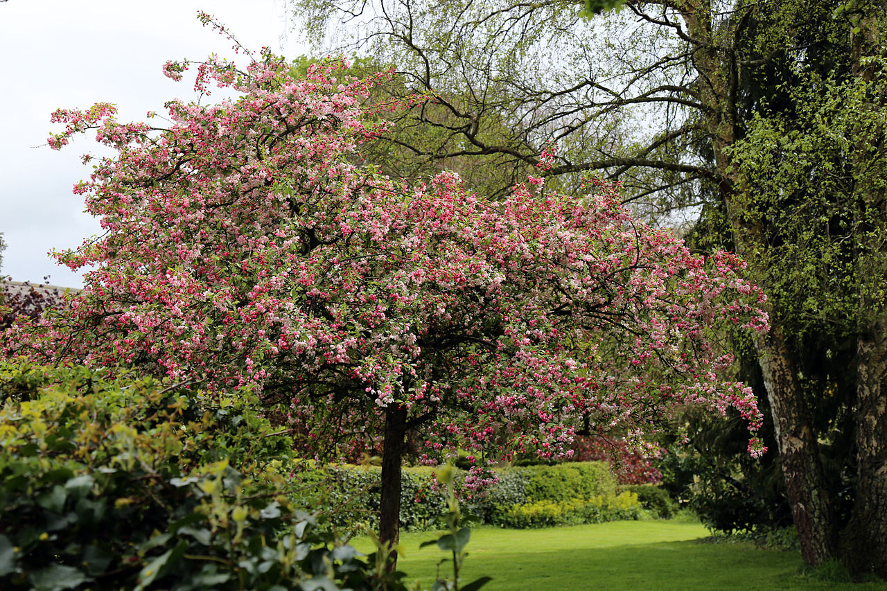 File a garden tree in blossom at housham tye essex for Garden trees england