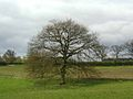A magnificent oak tree - geograph.org.uk - 162059.jpg