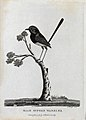 A male superb warbler sitting on a branch of a tree. Etching Wellcome V0022866EL.jpg