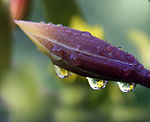A small flower refracted in rain droplets.jpg