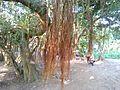 A tree branch of 500 year old tree at sakhibata, kendarapara.JPG