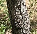 Acacia-estrophiolata-bark2.jpg