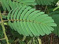 Acacia ataxacantha, blaar, Jimmy Aves Park, a.jpg