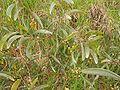 Acacia koaia2.jpg