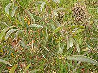 Acacia koaia2