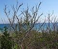Acacia latispina - Pemba Bay 3 (9584379874).jpg