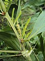 Acacia mangium 4.JPG
