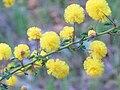 Acacia pulchella GlenForrest08.JPG
