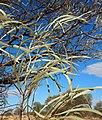 Acacia sericophylla foliage.jpg