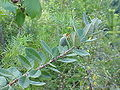 Acca sellowiana2.jpg