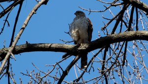 File:Accipiter cooperii DM.ogv
