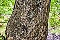 Acer cappadocicum ssp. sinicum in Hackfalls Arboretum (1).jpg