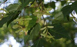 Acer crataegifolium kz1