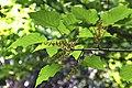 Acer davidii ssp. grosseri in Christchurch Botanic Gardens 02.jpg