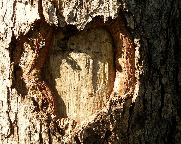 File:Acer obtusatum (37).JPG
