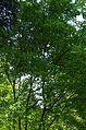 Acer stachyophyllum ÖBG 2012-05-20 01.jpg