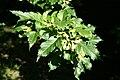 Acer tataricum subsp. 'ginnala' JPG1.jpg