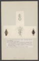 Acera carnosa - - Print - Iconographia Zoologica - Special Collections University of Amsterdam - UBAINV0274 005 08 0038.tif