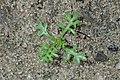 Achillea millefolium kz07.jpg