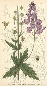 Aconitum septentrionale.jpg