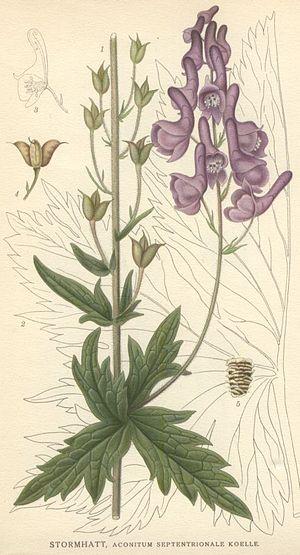 Aconitum lycoctonum - Image: Aconitum septentrionale