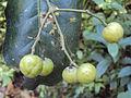 Acronychia pedunculata 04.JPG