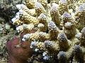 Acropora digitifera, coralitos.JPG