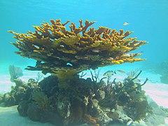 Acropora palmata - elkhorn coral - Bay of Pigs - Cuba.jpg