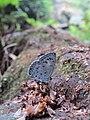Acytolepis puspa Horsfield, 1828 – Common Hedge Blue at Kottiyoor Wildlife Sanctuary (1).jpg