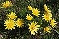 Adonis vernalis04.jpg